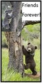 Koalas-cubs